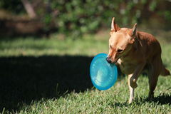 Play time. Dog running with a frisbee in her mouth Stock Photo