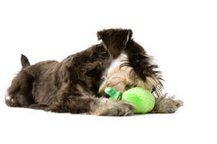 Play time. Playful dog with chew toy royalty free stock photography
