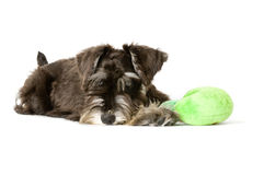 Play time. Playful dog with chew toy stock photo
