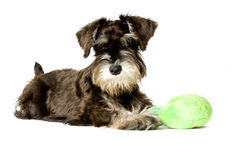 Play time. Playful dog with chew toy royalty free stock images