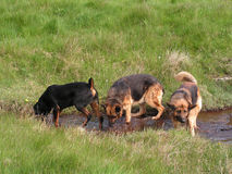 Play Time. 3 dogs enjoying a paddle and drink from a natural stream on a warm summer day royalty free stock photography