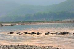 Play Water buffalo Stock Photography