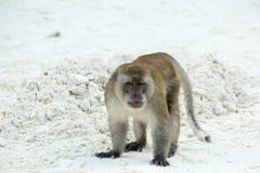 Playa agresiva del mono Cangrejo-consumición del macaque, Phi-phi, Tailandia Imagenes de archivo