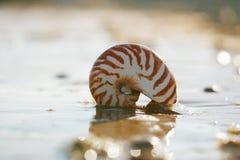 Playa británica del verano con la cáscara del mar del pompilius del nautilus Fotografía de archivo