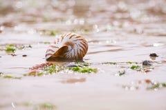 Playa británica del verano con la cáscara del mar del pompilius del nautilus Fotos de archivo libres de regalías