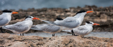 Playa Canoa terns Stock Photography