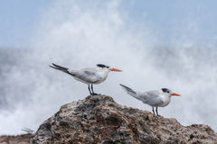 Playa Canoa terns Stock Images