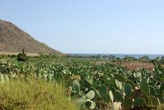Playa de los Genoveses. Landscape with fig cactus in the Genoveses beach, Almeria, Spain Royalty Free Stock Photo