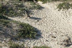 Playa de los pingüinos en Ciudad del Cabo fotos de archivo