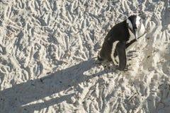 Playa de los pingüinos en Ciudad del Cabo imágenes de archivo libres de regalías