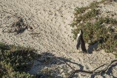 Playa de los pingüinos en Ciudad del Cabo foto de archivo libre de regalías