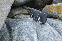 Playa de los pingüinos en Ciudad del Cabo fotos de archivo libres de regalías