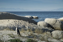 Playa de los pingüinos en Ciudad del Cabo fotografía de archivo