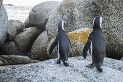 Playa de los pingüinos en Ciudad del Cabo imagen de archivo