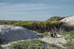 Playa de los pingüinos en Ciudad del Cabo fotografía de archivo libre de regalías