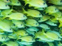 Yellow snappers in the Caribbean Sea stock photo