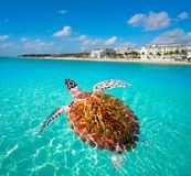Playa del Carmen turtle photomount Mexico. Playa del Carmen turtle photomount in Riviera Maya at Mayan Mexico Royalty Free Stock Images