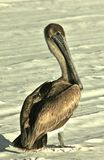 Playa del Golfo de México del pelícano fotografía de archivo libre de regalías