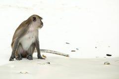 Playa del mono Cangrejo-consumición del macaque, Phi-phi, Tailandia Fotografía de archivo libre de regalías