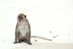 Playa del mono Cangrejo-consumición del macaque, Phi-phi, Tailandia Imagen de archivo