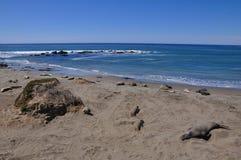 Playa del sello de elefante Fotografía de archivo