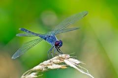 Playa Dragonlet de la libélula Fotos de archivo libres de regalías