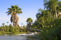 Playa pacífica de la Florida con la palma torcida Foto de archivo libre de regalías