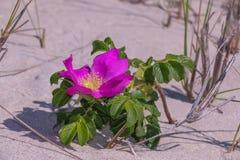Playa Plum Flower Foto de archivo