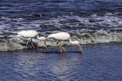 Two White Ibis feeding on shoreline stock photos