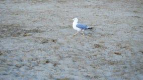 Playa que camina de la gaviota almacen de metraje de vídeo