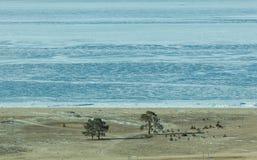 Playa reservada con los árboles de pino en la isla de Olkhon en Baikal congelado Imagenes de archivo