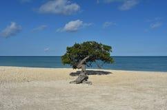 Playa tropical hermosa de Aruba con Divi Tree Imagen de archivo