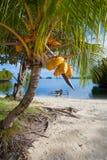 Playa tropical sin tocar de la foto en la isla de Bali Palma con las frutas Cuadro vertical Fotos de archivo