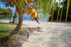 Playa tropical sin tocar de la foto en la isla de Bali Palma con las frutas Cuadro vertical Fondo enmascarado Imagenes de archivo