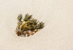 Playa y alga marina Imagenes de archivo