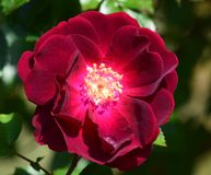 Playboy rose. Red playboy rose and single rain drop in petal Stock Images