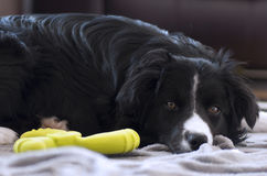 Played out. Border collie pup resting after a vigorous playtime Stock Photography