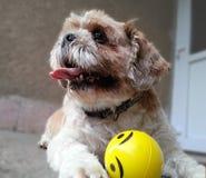 Player dog Royalty Free Stock Photo