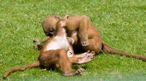 playfighting的猴子 库存照片