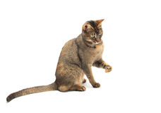 Playful Abyssinian Stock Image