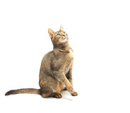 Playful Abyssinian Stock Photos