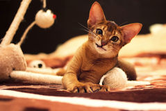 Playful abyssinian cat hunting toy mouse Stock Images