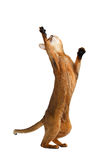 Playful Abyssinian Cat Standing on rear Legs, Raising up Paw Stock Photo