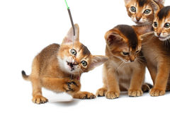 Playful Abyssinian four Kitten on Isolated White Background. Closeup Playful Group of Abyssinian Kitten Hunting for the toy Isolated White Background, Raising up Stock Photo