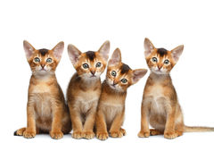 Playful Abyssinian four Kitten on Isolated White Background Stock Photography