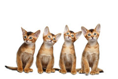 Playful Abyssinian four Kitten on Isolated White Background Royalty Free Stock Photography