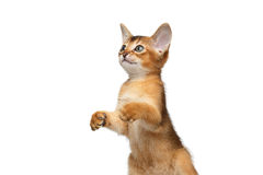 Playful Abyssinian Kitty Curious Standing on Isolated White Background Stock Photography