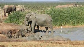 Playful African elephants stock footage