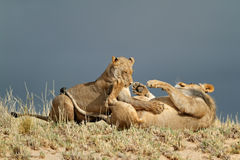 Playful African lions Royalty Free Stock Photos