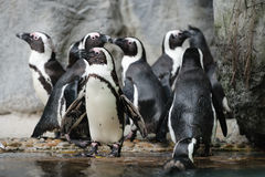 Playful African Penguins at a Public Zoo Stock Photo